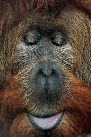 stock photo of orangutan  - Cross hybrid of the Sumatran orangutan  - JPG