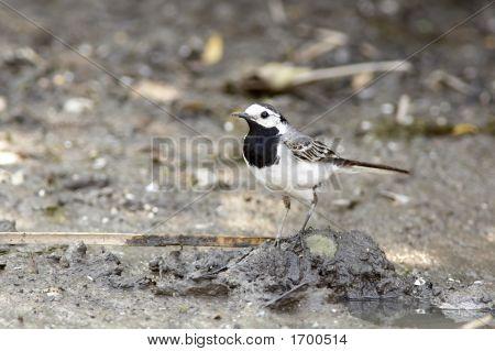 Little Bird/Wagtail/Motacilla Alba
