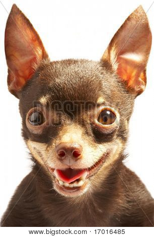 Russian toy-terrier.Thoroughbred dog...Ridiculous dog