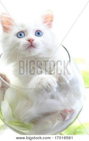 White kitten in a glass wine glass....
