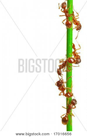 Ants on a green grass. On a white background.