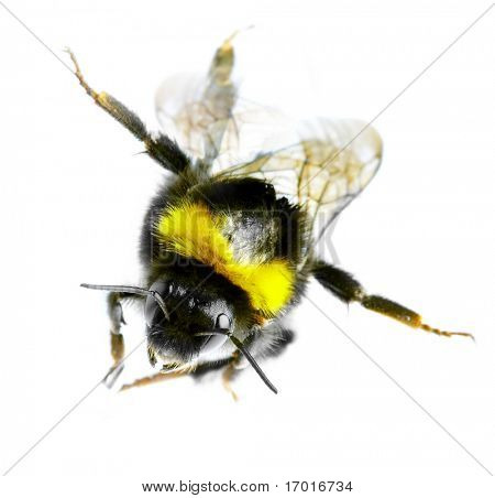 Flying bumblebee on a white background