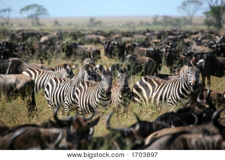 Zebra'S Among A Migarting Herd Of Wildebeest