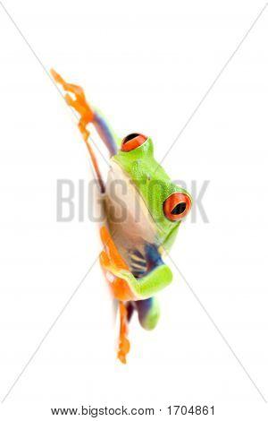 Frosch auf weiß