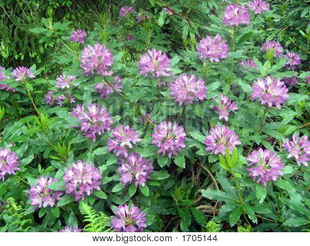 Purple Rhododendron Bush