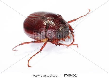 June Bug On White