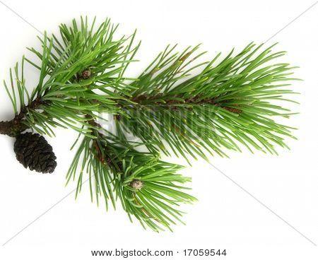 Pinus mugo on white background