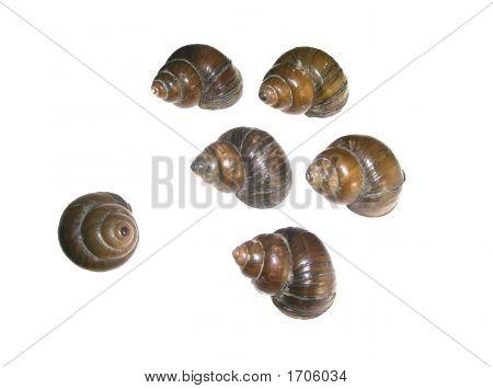 Lake Conch Shells -  Shy