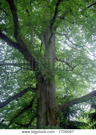 Old Scottish Beech Tree 2