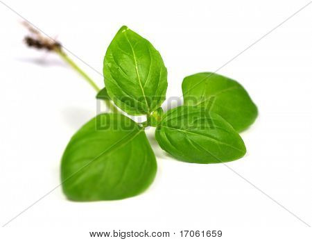 Green basil leaves on white background