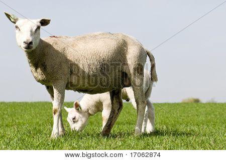shaven sheep and young lamb