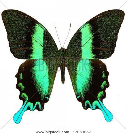 Papilio blumei isolated on white