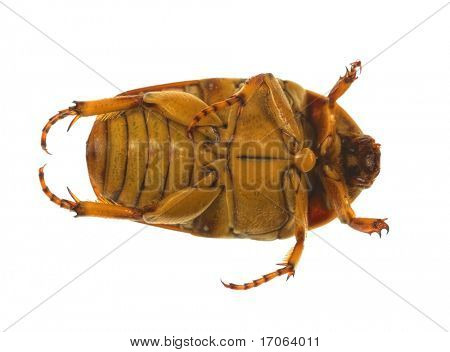 Dung beetle isolated on white