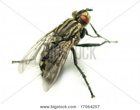 Common house fly on white background