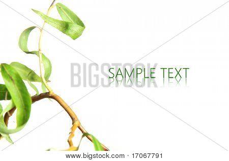 Beautiful Salix on white background