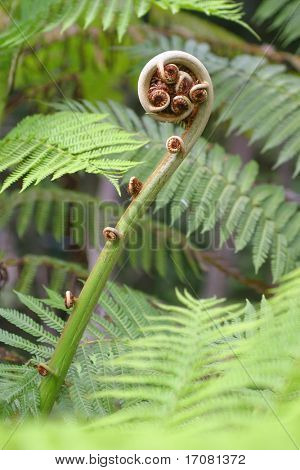 Close up on a fern frond about to open