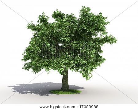 3d rendering of an isolated oak tree