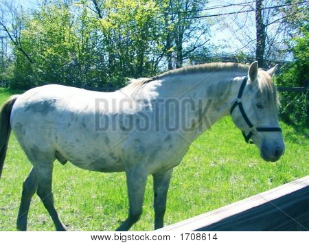 Beautiful White Horse In a  Wooden Paddock