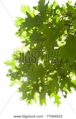 oak leaves isolated