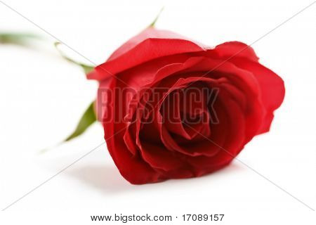 bela rosa vermelha com gotículas de água isolado (DOF raso)