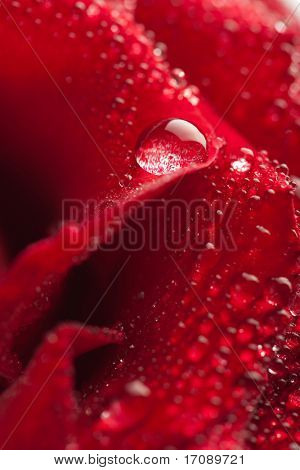 beautiful red rose with water droplets (shallow focus)