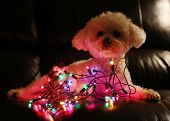 Dog with Christmas Lights. Bichon Frise Dog with colorful mini Christmas lights. Focus on the lights poster