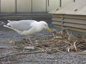 stock photo of tig  - mother watching three small baby seagull chicks in nest - JPG