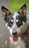 stock photo of blue heeler  - A classic Australian cattle dog the Blue Heeler - JPG