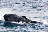 image of cetacea  - Humpback jubarte Whale of abrolhos islands in bahia state brazil - JPG