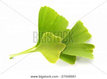 Ginkgo biloba fresh leaves
