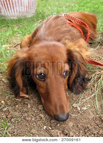 Dachshund lonely sad dog