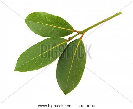 laurel bay aromatic herb