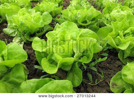 Kopfsalat grün im Garten aufwachsen