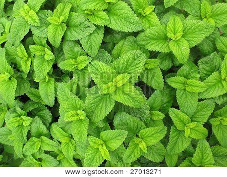 Melissa officinalis erva-cidreira planta