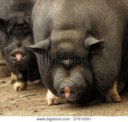 Potbellied Vietnamese pig pair sow and hog