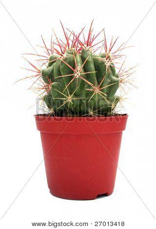 Cactus Melocactus azureus in red flowerpot on white