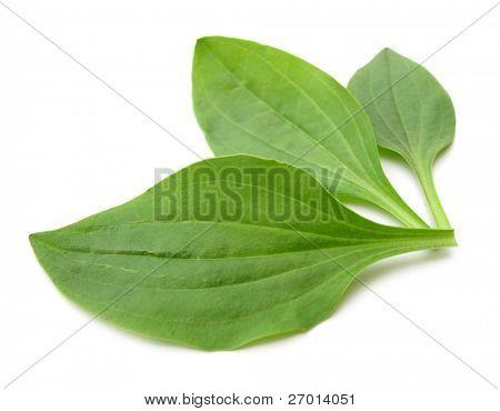 Plantago major Greater plantain three green leaves