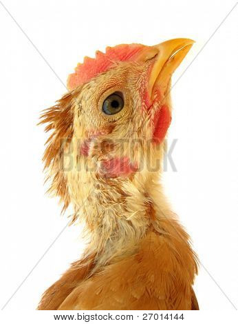 Young chicken is looking up