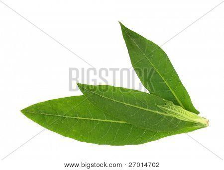 Tabakblätter Pflanze