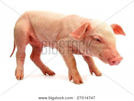Cochinillo de cerdo bebé