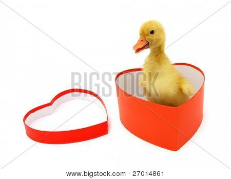 Duckling young baby duck appears from heart shaped box