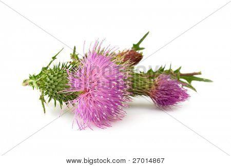 Thistle flower Cirsium vulgare