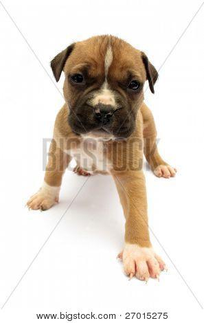 Little dog puppy