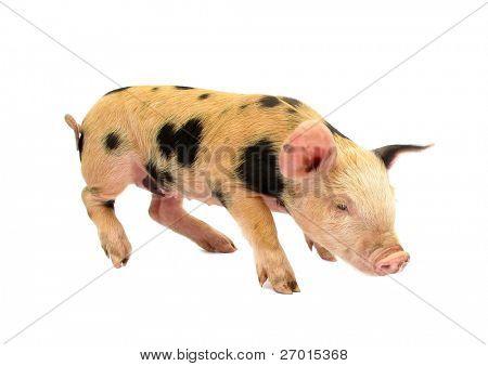 Pig baby piglet