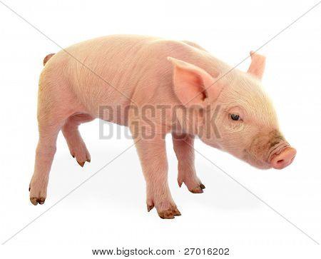 Ferkel Baby Schwein