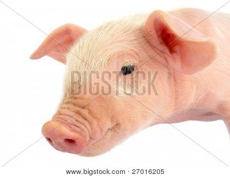 Ferkel Baby Schweinekopf