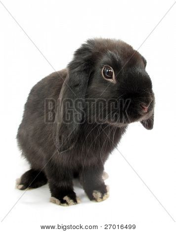 Black lop rabbit bunny isolated on white