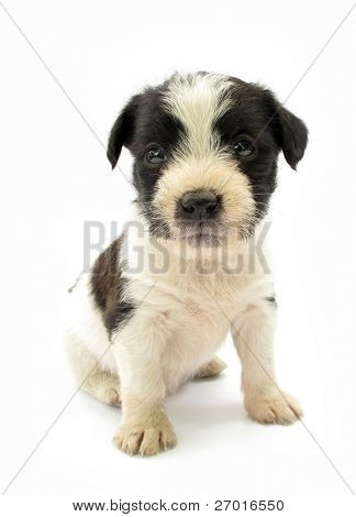 Adopted pariah dog puppy black and white