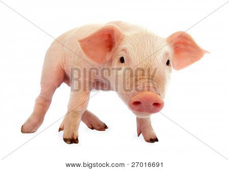 Leitão de bebê porco
