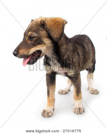 Adopted pariah dog puppy